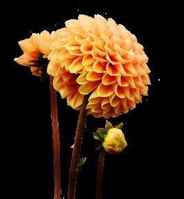 springweddingdahlia